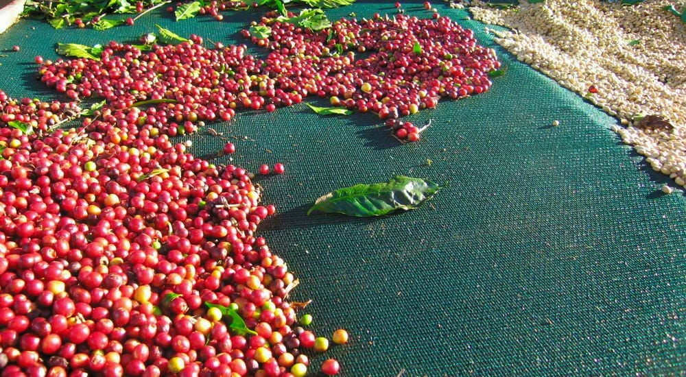 drying organic coffee