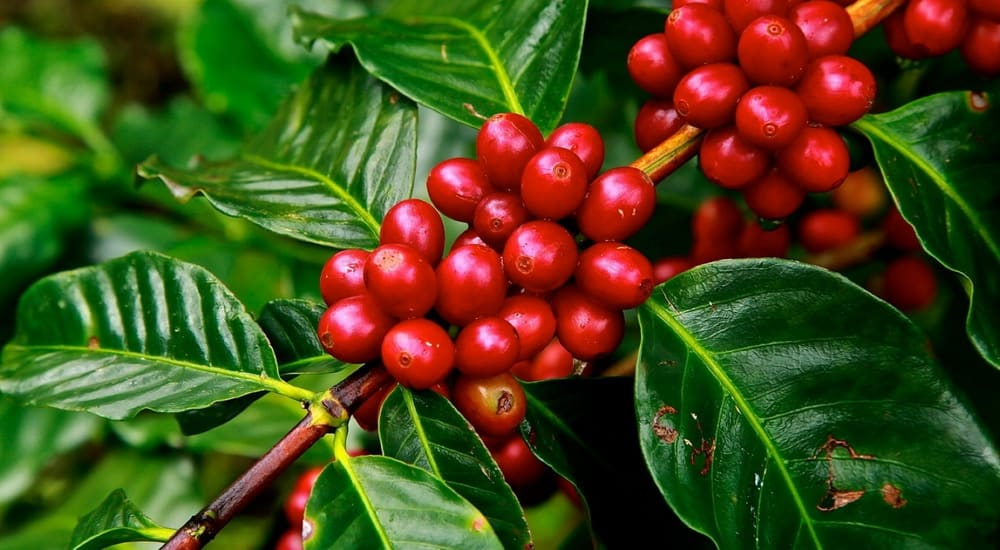 organic Colombian coffee cherry beans